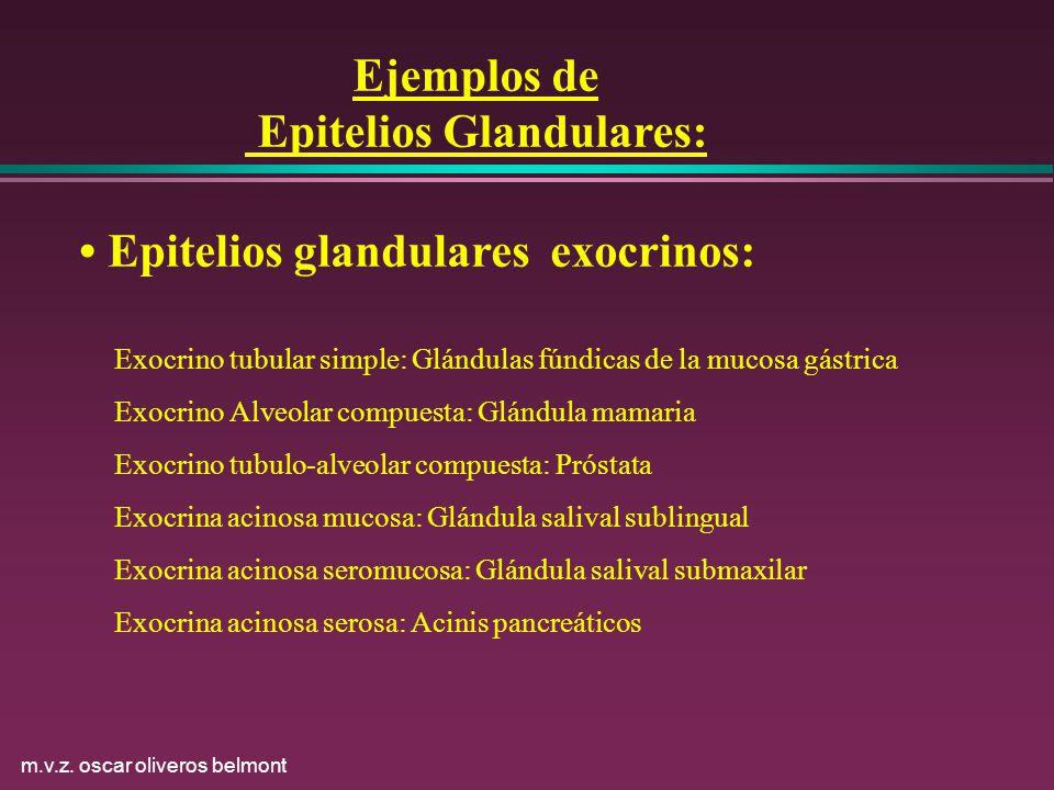m.v.z. oscar oliveros belmont Ejemplos de Epitelios Glandulares: Epitelios glandulares exocrinos: Exocrino tubular simple: Glándulas fúndicas de la mu