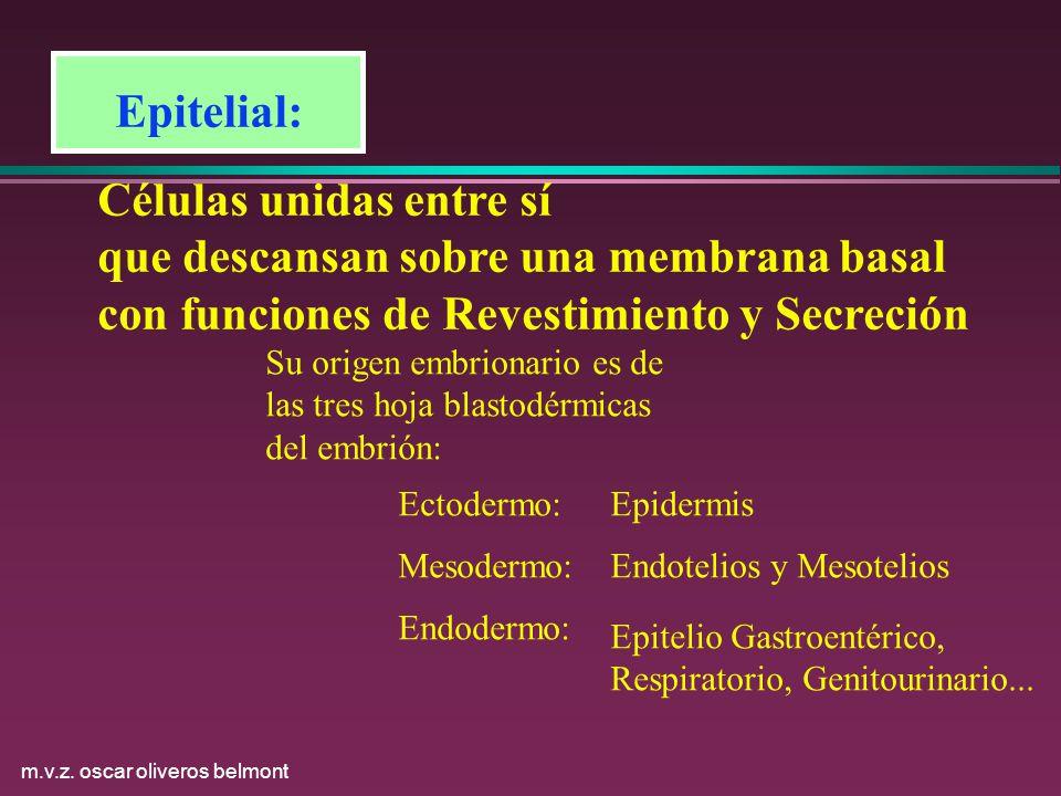 m.v.z. oscar oliveros belmont Epitelial: Células unidas entre sí que descansan sobre una membrana basal con funciones de Revestimiento y Secreción Su