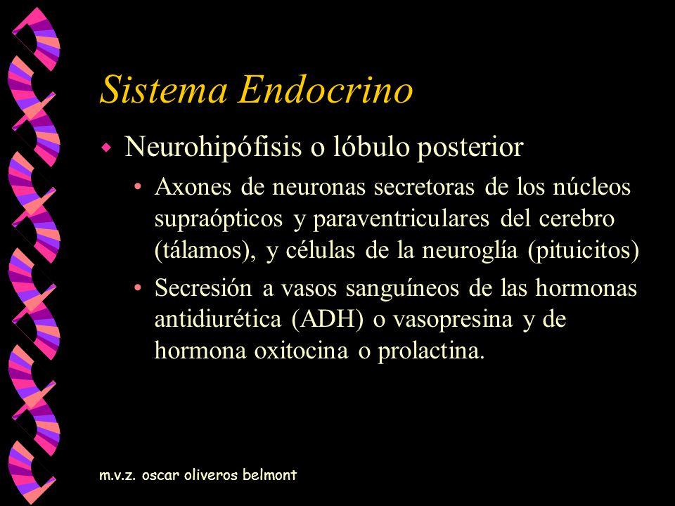 m.v.z. oscar oliveros belmont Sistema Endocrino w Neurohipófisis o lóbulo posterior Axones de neuronas secretoras de los núcleos supraópticos y parave