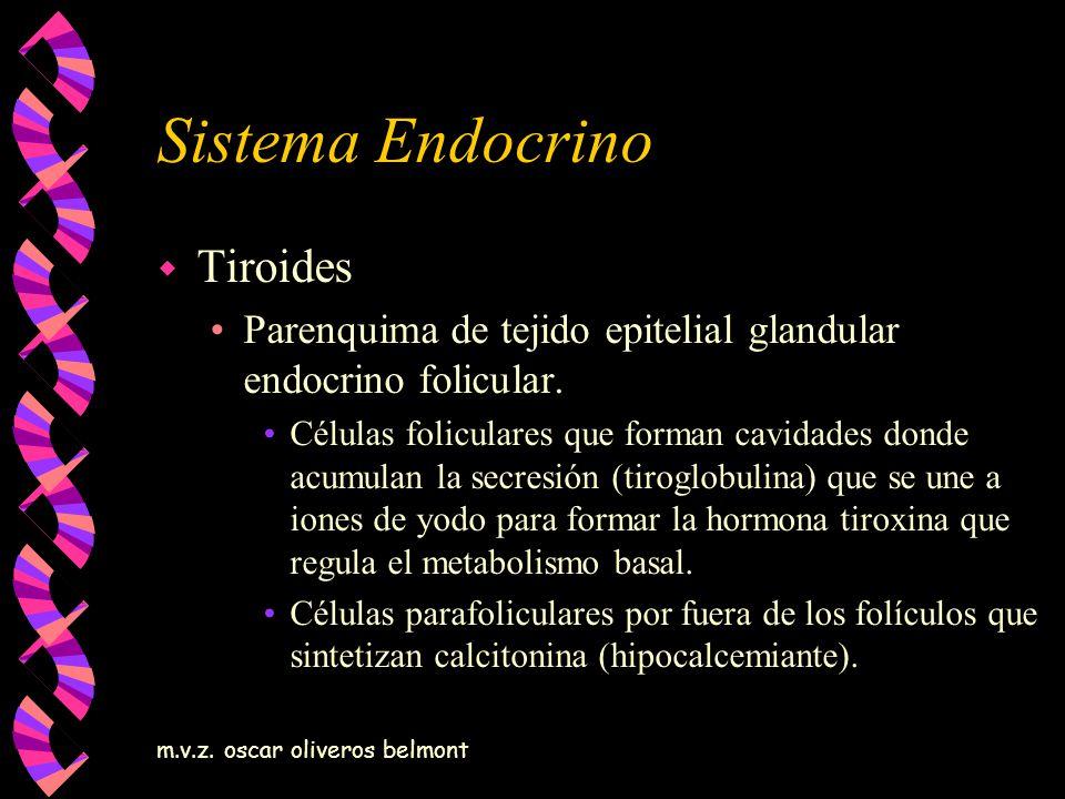 m.v.z. oscar oliveros belmont Sistema Endocrino w Tiroides Parenquima de tejido epitelial glandular endocrino folicular. Células foliculares que forma