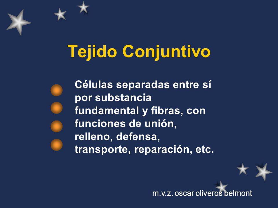 Tejido Conjuntivo Células separadas entre sí por substancia fundamental y fibras, con funciones de unión, relleno, defensa, transporte, reparación, et