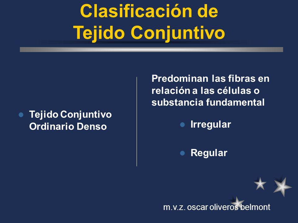 Clasificación de Tejido Conjuntivo Tejido Conjuntivo Ordinario Denso Irregular Regular Predominan las fibras en relación a las células o substancia fu