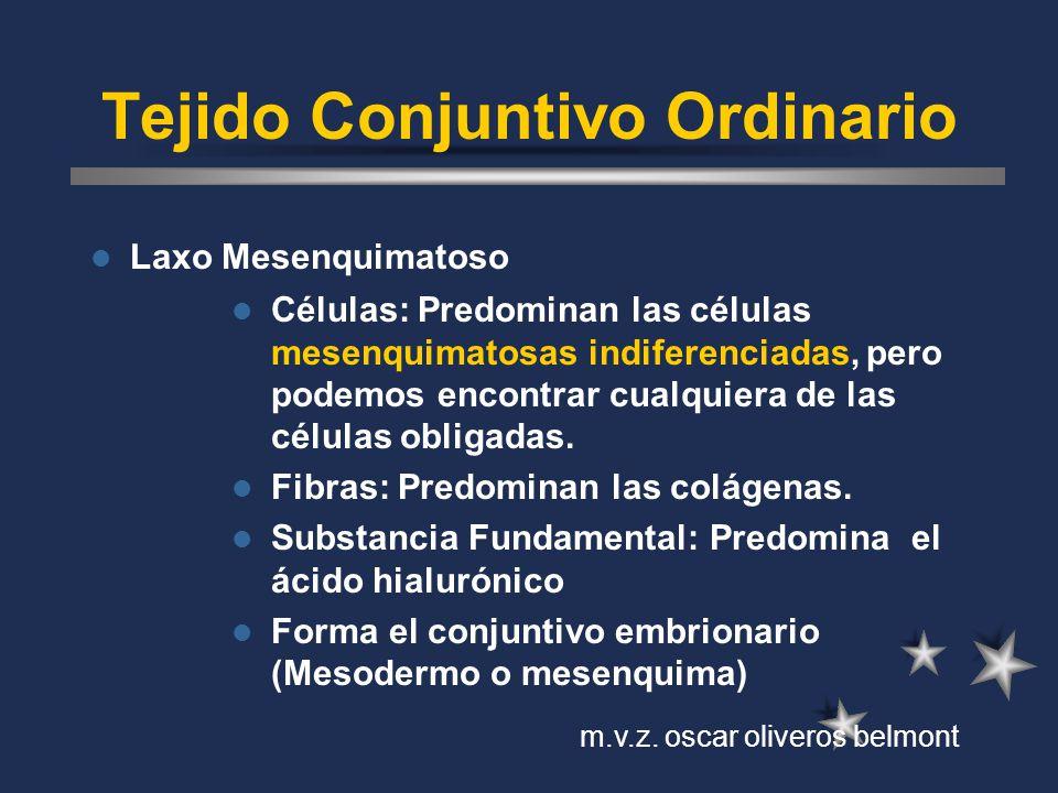 Tejido Conjuntivo Ordinario Laxo Mesenquimatoso Células: Predominan las células mesenquimatosas indiferenciadas, pero podemos encontrar cualquiera de