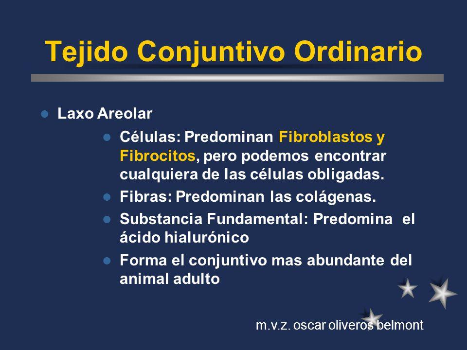 Tejido Conjuntivo Ordinario Laxo Areolar Células: Predominan Fibroblastos y Fibrocitos, pero podemos encontrar cualquiera de las células obligadas. Fi