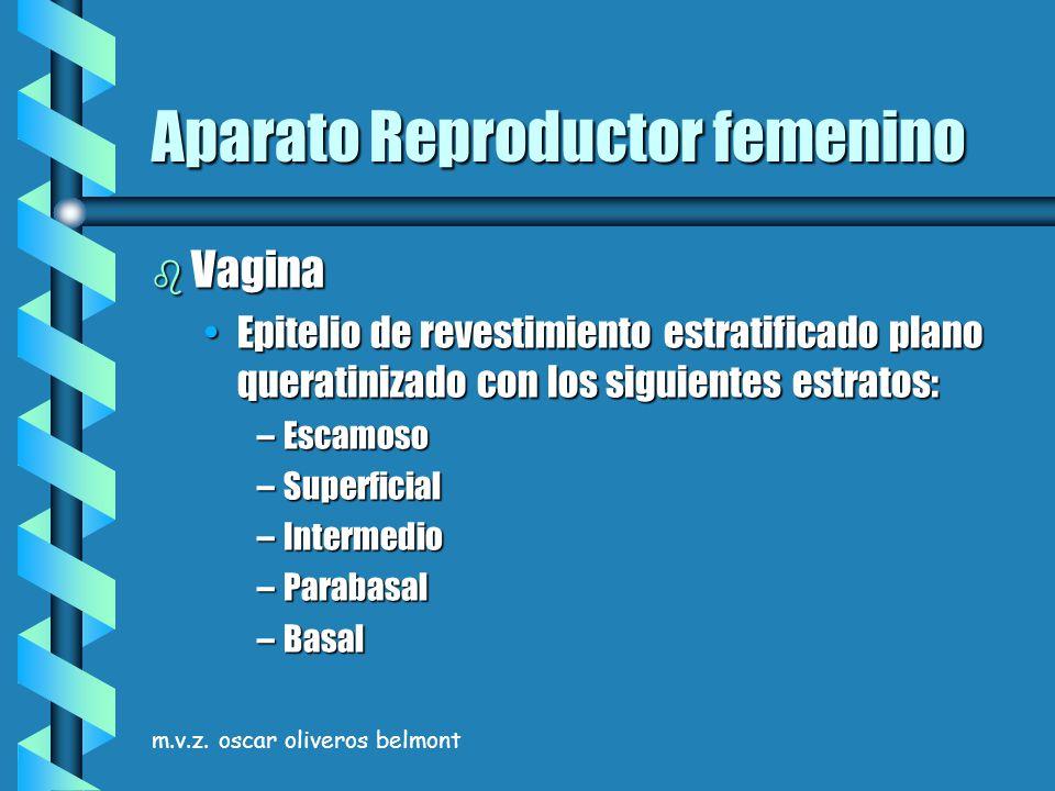 m.v.z. oscar oliveros belmont Aparato Reproductor femenino b Vagina Epitelio de revestimiento estratificado plano queratinizado con los siguientes est