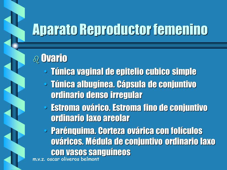 m.v.z. oscar oliveros belmont Aparato Reproductor femenino b Ovario Túnica vaginal de epitelio cubico simpleTúnica vaginal de epitelio cubico simple T