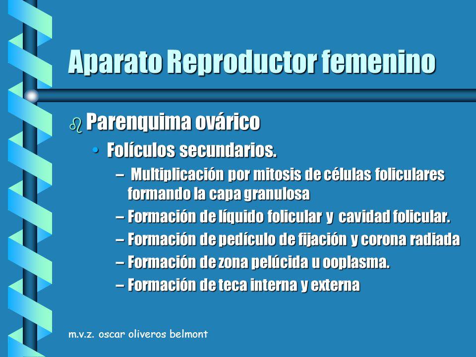 m.v.z. oscar oliveros belmont Aparato Reproductor femenino b Parenquima ovárico Folículos secundarios.Folículos secundarios. – Multiplicación por mito