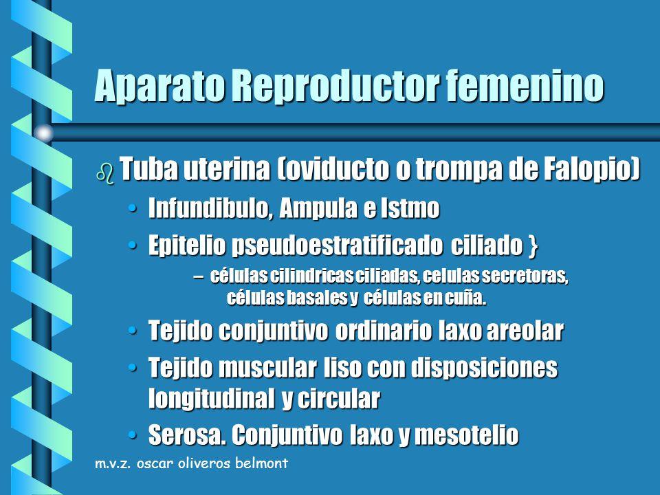 m.v.z. oscar oliveros belmont Aparato Reproductor femenino b Tuba uterina (oviducto o trompa de Falopio) Infundibulo, Ampula e IstmoInfundibulo, Ampul