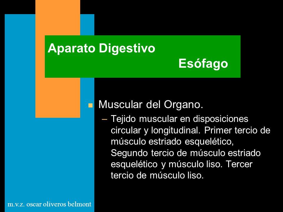 m.v.z. oscar oliveros belmont Aparato Digestivo Esófago n Muscular del Organo. –Tejido muscular en disposiciones circular y longitudinal. Primer terci