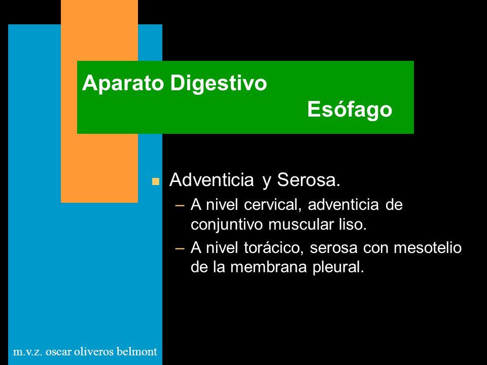 m.v.z. oscar oliveros belmont Aparato Digestivo Esófago n Adventicia y Serosa. –A nivel cervical, adventicia de conjuntivo muscular liso. –A nivel tor