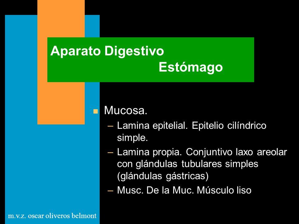 m.v.z. oscar oliveros belmont Aparato Digestivo Estómago n Mucosa. –Lamina epitelial. Epitelio cilíndrico simple. –Lamina propia. Conjuntivo laxo areo