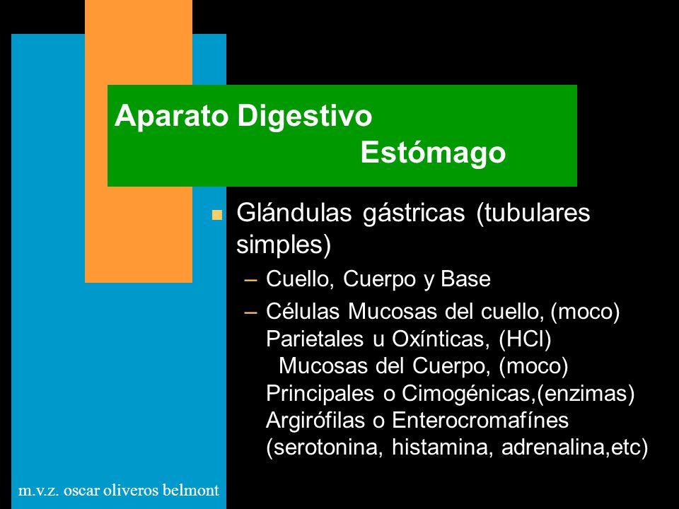 m.v.z. oscar oliveros belmont Aparato Digestivo Estómago n Glándulas gástricas (tubulares simples) –Cuello, Cuerpo y Base –Células Mucosas del cuello,