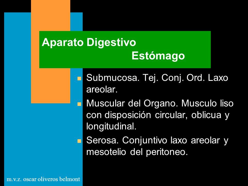 m.v.z. oscar oliveros belmont Aparato Digestivo Estómago n Submucosa. Tej. Conj. Ord. Laxo areolar. n Muscular del Organo. Musculo liso con disposició