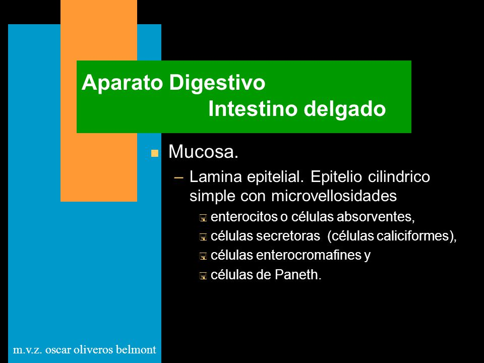 m.v.z. oscar oliveros belmont Aparato Digestivo Intestino delgado n Mucosa. –Lamina epitelial. Epitelio cilindrico simple con microvellosidades < ente