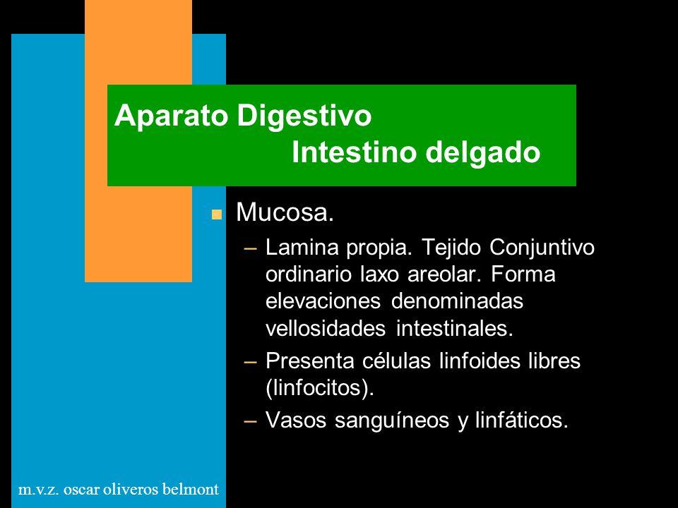 m.v.z. oscar oliveros belmont Aparato Digestivo Intestino delgado n Mucosa. –Lamina propia. Tejido Conjuntivo ordinario laxo areolar. Forma elevacione