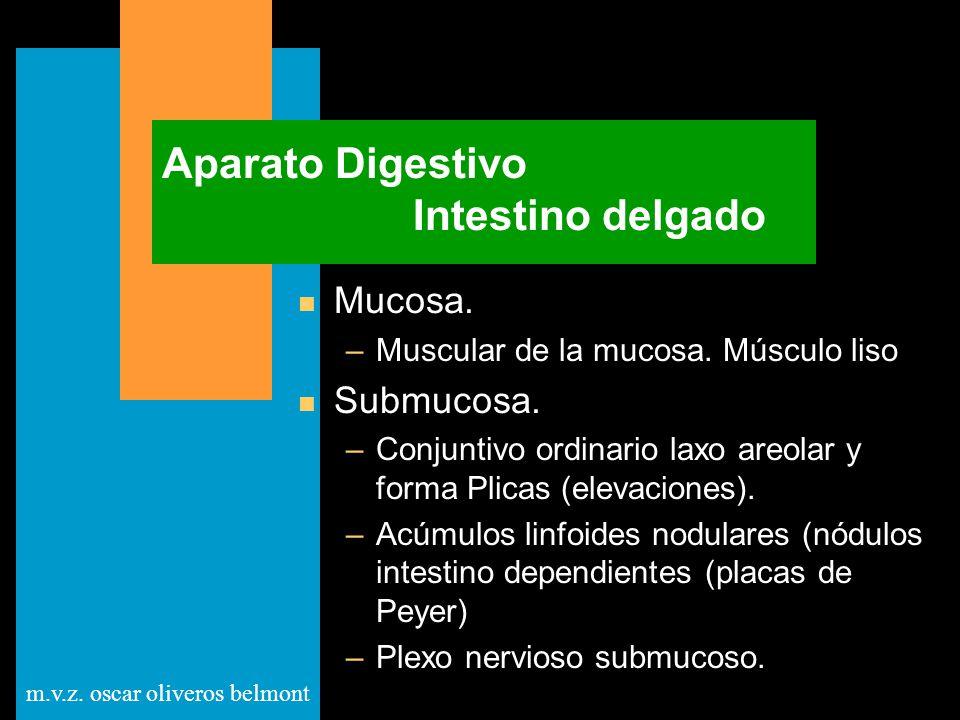 m.v.z. oscar oliveros belmont Aparato Digestivo Intestino delgado n Mucosa. –Muscular de la mucosa. Músculo liso n Submucosa. –Conjuntivo ordinario la