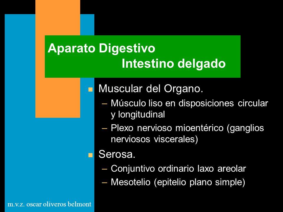 m.v.z. oscar oliveros belmont Aparato Digestivo Intestino delgado n Muscular del Organo. –Músculo liso en disposiciones circular y longitudinal –Plexo