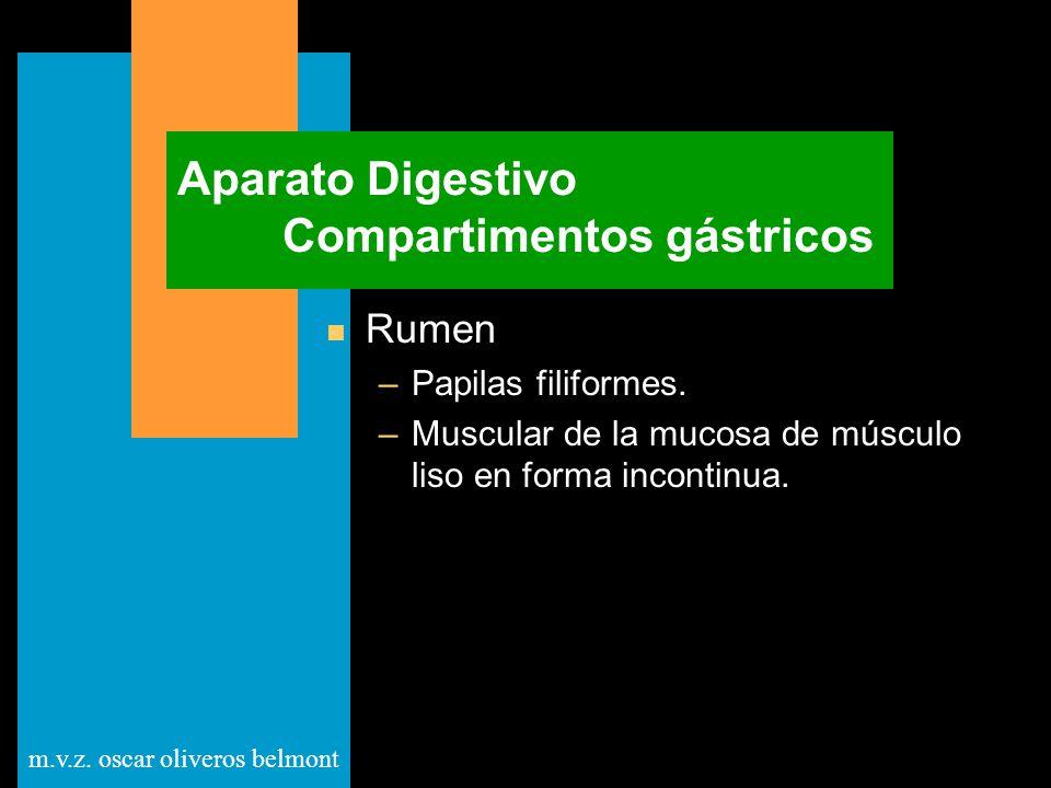 m.v.z. oscar oliveros belmont Aparato Digestivo Compartimentos gástricos n Rumen –Papilas filiformes. –Muscular de la mucosa de músculo liso en forma
