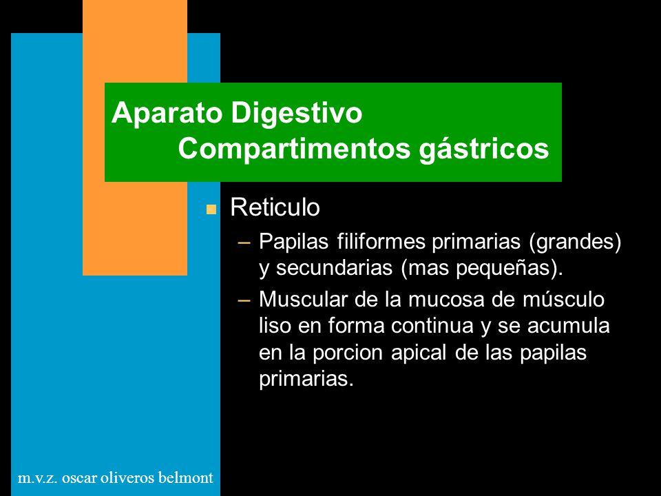 m.v.z. oscar oliveros belmont Aparato Digestivo Compartimentos gástricos n Reticulo –Papilas filiformes primarias (grandes) y secundarias (mas pequeña