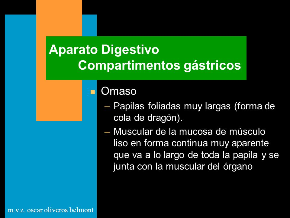 m.v.z. oscar oliveros belmont Aparato Digestivo Compartimentos gástricos n Omaso –Papilas foliadas muy largas (forma de cola de dragón). –Muscular de
