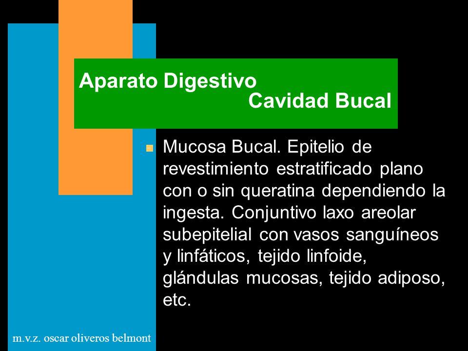 m.v.z. oscar oliveros belmont Aparato Digestivo Cavidad Bucal n Mucosa Bucal. Epitelio de revestimiento estratificado plano con o sin queratina depend