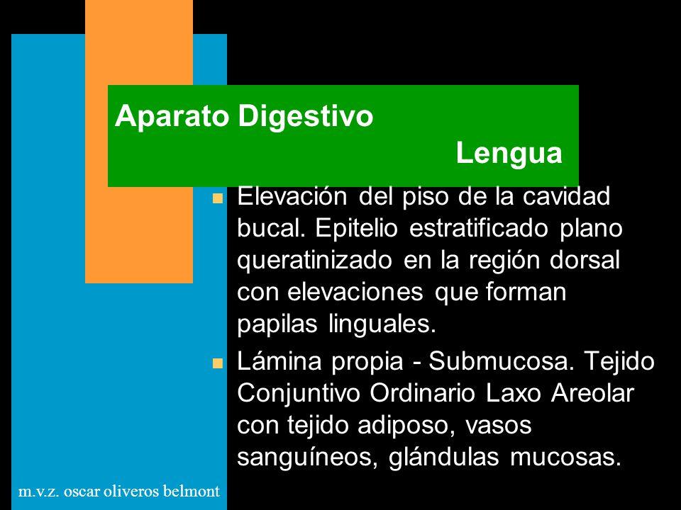 m.v.z. oscar oliveros belmont Aparato Digestivo Lengua n Elevación del piso de la cavidad bucal. Epitelio estratificado plano queratinizado en la regi