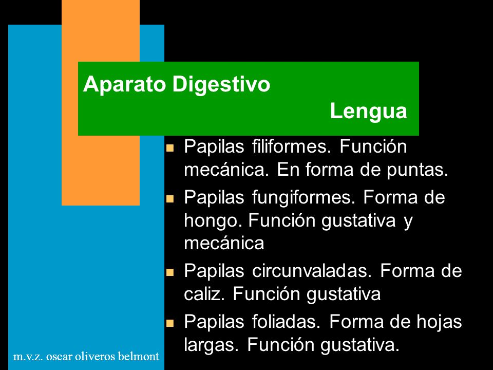 m.v.z. oscar oliveros belmont Aparato Digestivo Lengua n Papilas filiformes. Función mecánica. En forma de puntas. n Papilas fungiformes. Forma de hon