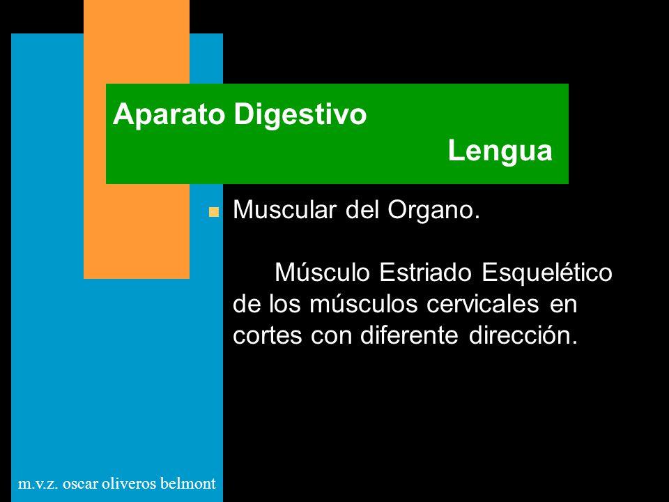 m.v.z. oscar oliveros belmont Aparato Digestivo Lengua n Muscular del Organo. Músculo Estriado Esquelético de los músculos cervicales en cortes con di