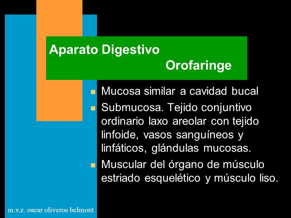 m.v.z. oscar oliveros belmont Aparato Digestivo Orofaringe n Mucosa similar a cavidad bucal n Submucosa. Tejido conjuntivo ordinario laxo areolar con