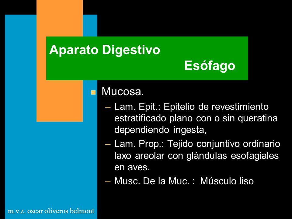 m.v.z. oscar oliveros belmont Aparato Digestivo Esófago n Mucosa. –Lam. Epit.: Epitelio de revestimiento estratificado plano con o sin queratina depen