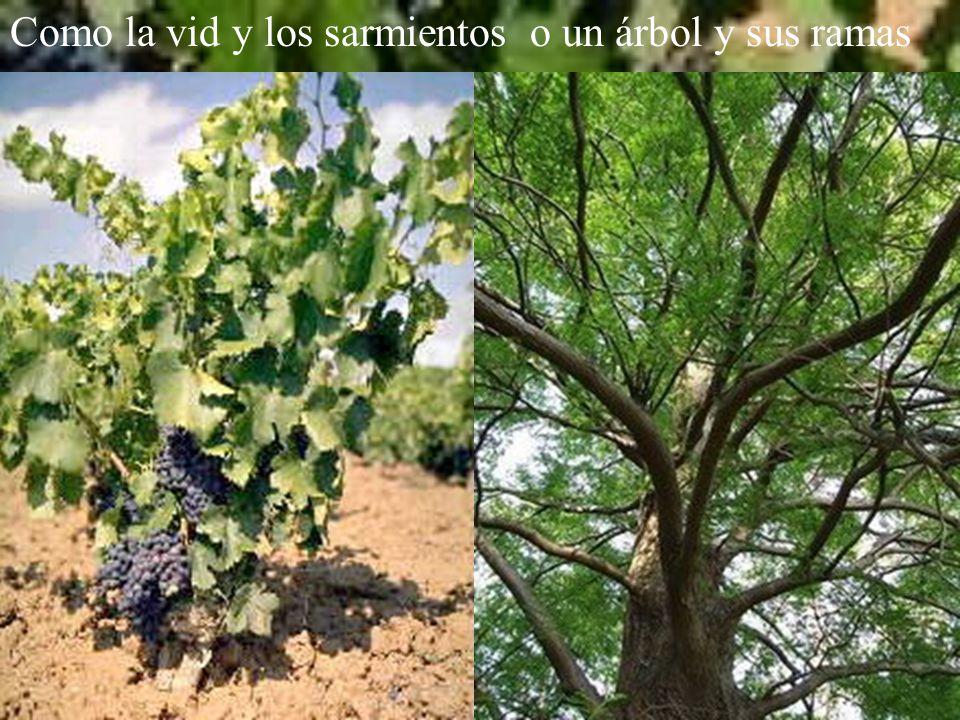 Como la vid y los sarmientoso un árbol y sus ramas