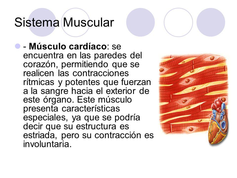 Sistema Muscular - Músculo cardíaco: se encuentra en las paredes del corazón, permitiendo que se realicen las contracciones rítmicas y potentes que fuerzan a la sangre hacia el exterior de este órgano.