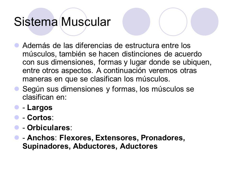 Sistema Muscular Además de las diferencias de estructura entre los músculos, también se hacen distinciones de acuerdo con sus dimensiones, formas y lugar donde se ubiquen, entre otros aspectos.