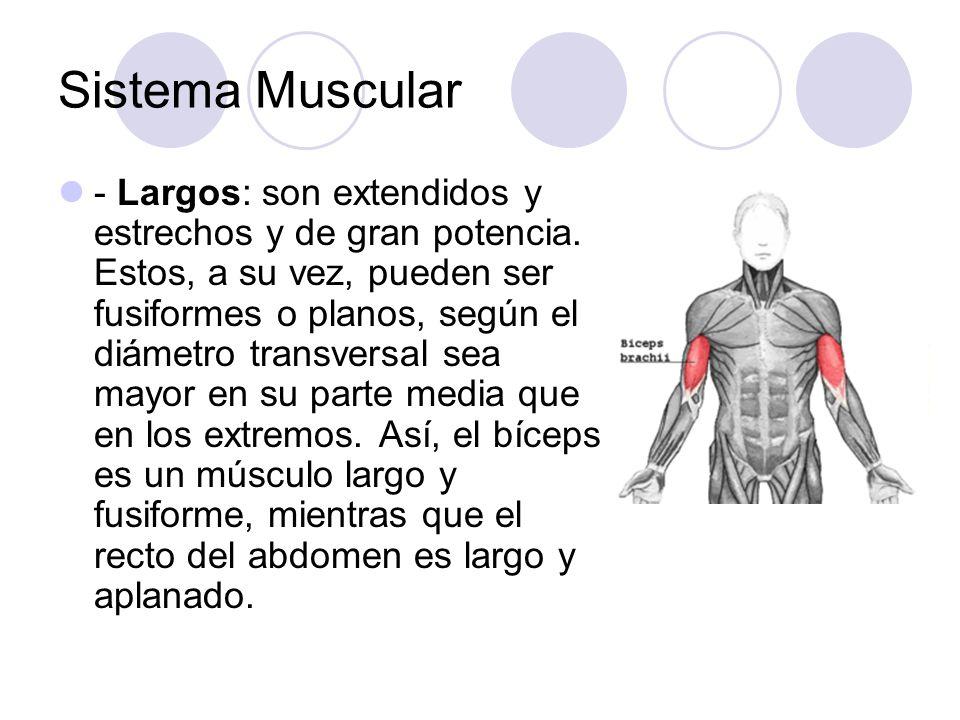 Sistema Muscular - Largos: son extendidos y estrechos y de gran potencia. Estos, a su vez, pueden ser fusiformes o planos, según el diámetro transvers