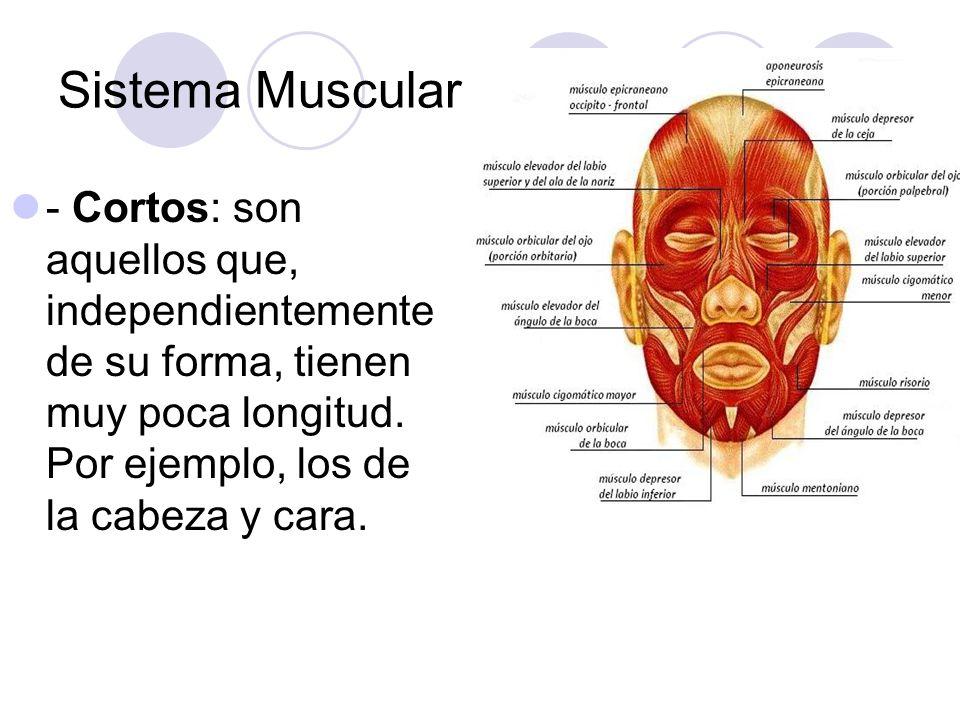 Sistema Muscular - Cortos: son aquellos que, independientemente de su forma, tienen muy poca longitud. Por ejemplo, los de la cabeza y cara.