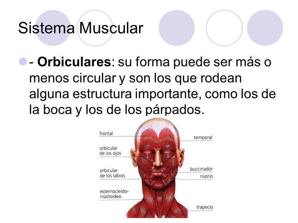 Sistema Muscular - Orbiculares: su forma puede ser más o menos circular y son los que rodean alguna estructura importante, como los de la boca y los de los párpados.