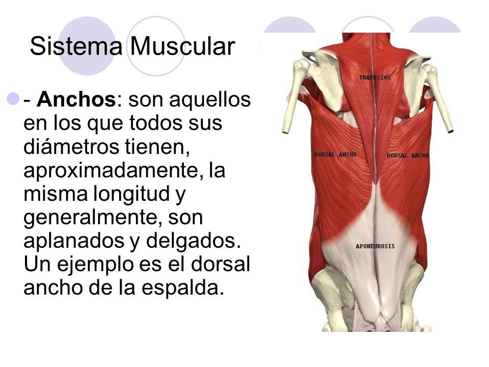 Sistema Muscular - Anchos: son aquellos en los que todos sus diámetros tienen, aproximadamente, la misma longitud y generalmente, son aplanados y delgados.