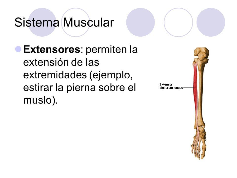 Sistema Muscular Extensores: permiten la extensión de las extremidades (ejemplo, estirar la pierna sobre el muslo).