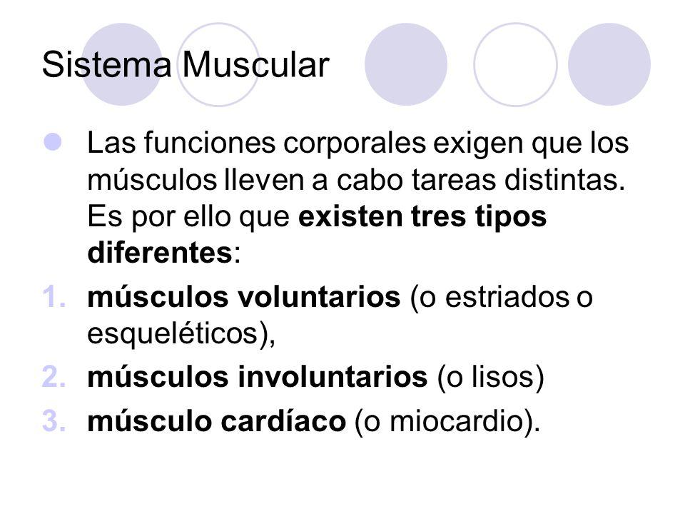 Sistema Muscular Las funciones corporales exigen que los músculos lleven a cabo tareas distintas. Es por ello que existen tres tipos diferentes: 1.mús