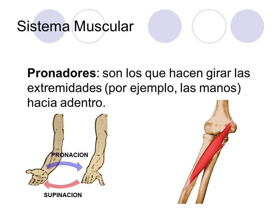 Sistema Muscular Pronadores: son los que hacen girar las extremidades (por ejemplo, las manos) hacia adentro.