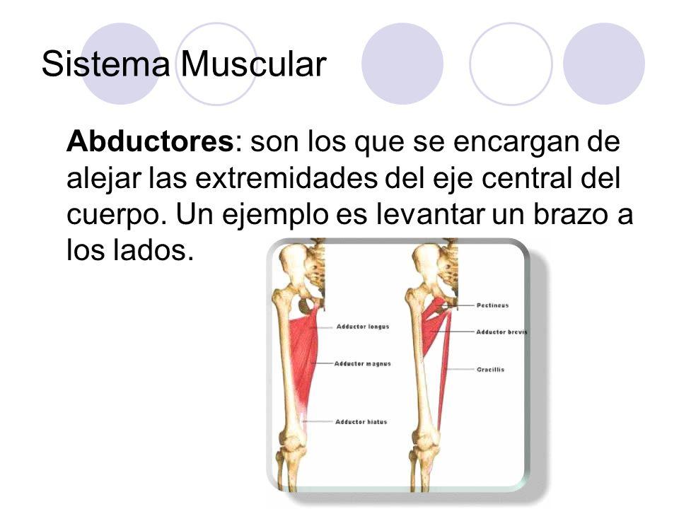 Sistema Muscular Abductores: son los que se encargan de alejar las extremidades del eje central del cuerpo. Un ejemplo es levantar un brazo a los lado