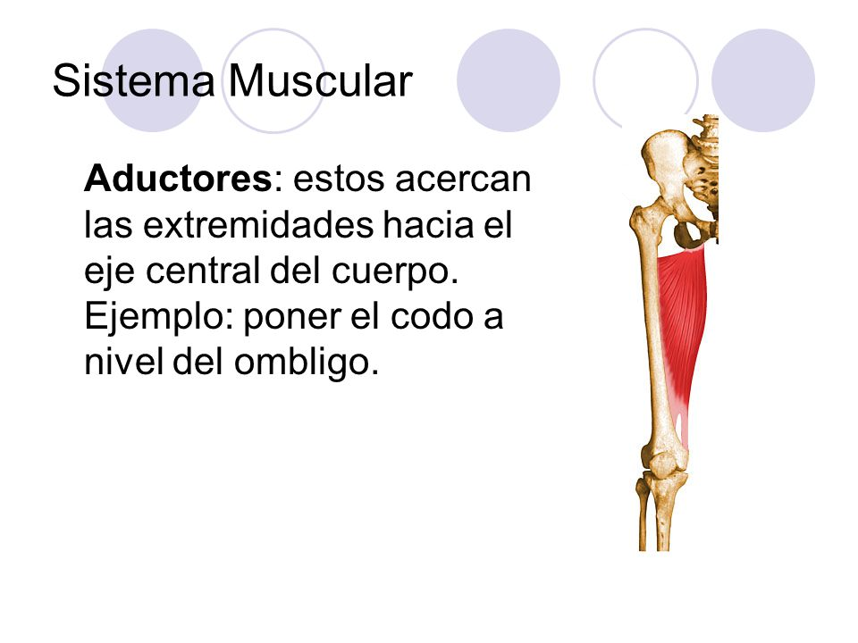Sistema Muscular Aductores: estos acercan las extremidades hacia el eje central del cuerpo. Ejemplo: poner el codo a nivel del ombligo.
