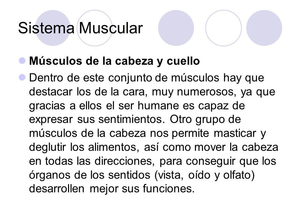 Sistema Muscular Músculos de la cabeza y cuello Dentro de este conjunto de músculos hay que destacar los de la cara, muy numerosos, ya que gracias a ellos el ser humane es capaz de expresar sus sentimientos.