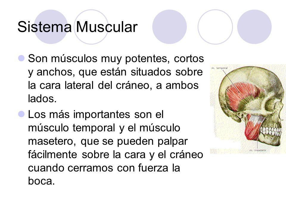 Sistema Muscular Son músculos muy potentes, cortos y anchos, que están situados sobre la cara lateral del cráneo, a ambos lados.