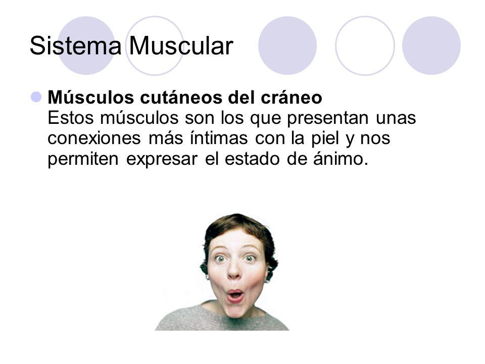Sistema Muscular Músculos cutáneos del cráneo Estos músculos son los que presentan unas conexiones más íntimas con la piel y nos permiten expresar el estado de ánimo.