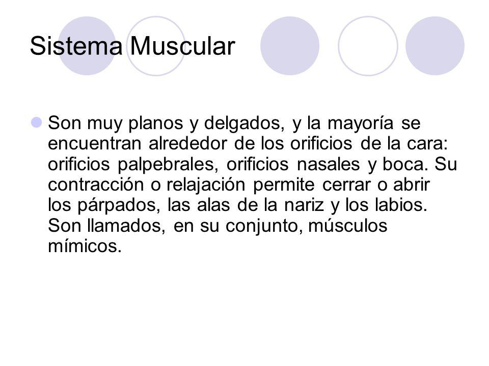 Sistema Muscular Son muy planos y delgados, y la mayoría se encuentran alrededor de los orificios de la cara: orificios palpebrales, orificios nasales y boca.