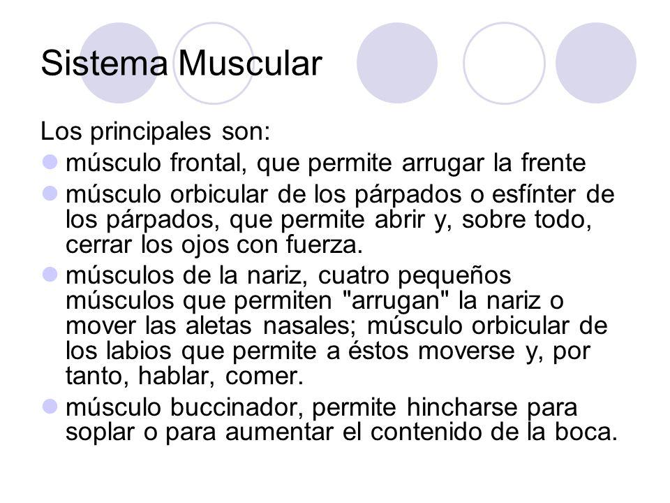 Sistema Muscular Los principales son: músculo frontal, que permite arrugar la frente músculo orbicular de los párpados o esfínter de los párpados, que permite abrir y, sobre todo, cerrar los ojos con fuerza.