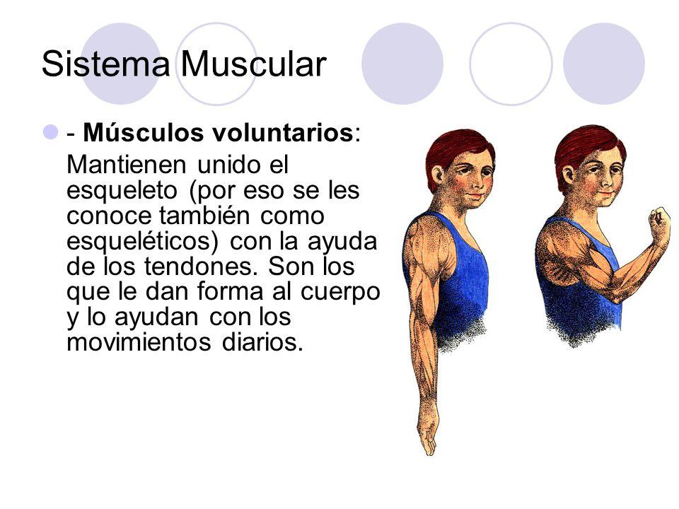 Sistema Muscular - Músculos voluntarios: Mantienen unido el esqueleto (por eso se les conoce también como esqueléticos) con la ayuda de los tendones.
