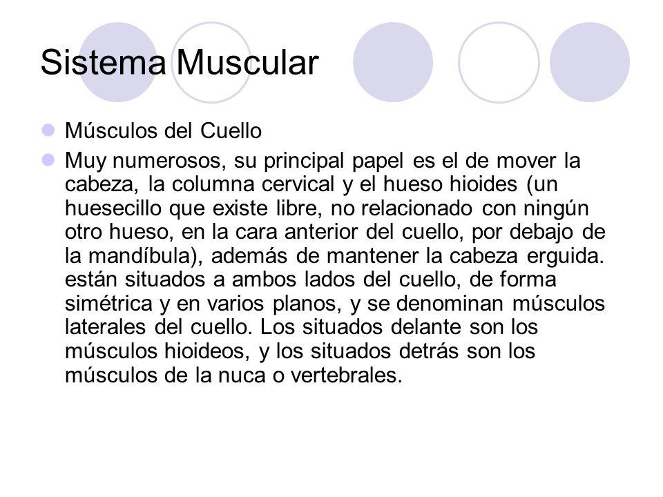 Sistema Muscular Músculos del Cuello Muy numerosos, su principal papel es el de mover la cabeza, la columna cervical y el hueso hioides (un huesecillo que existe libre, no relacionado con ningún otro hueso, en la cara anterior del cuello, por debajo de la mandíbula), además de mantener la cabeza erguida.