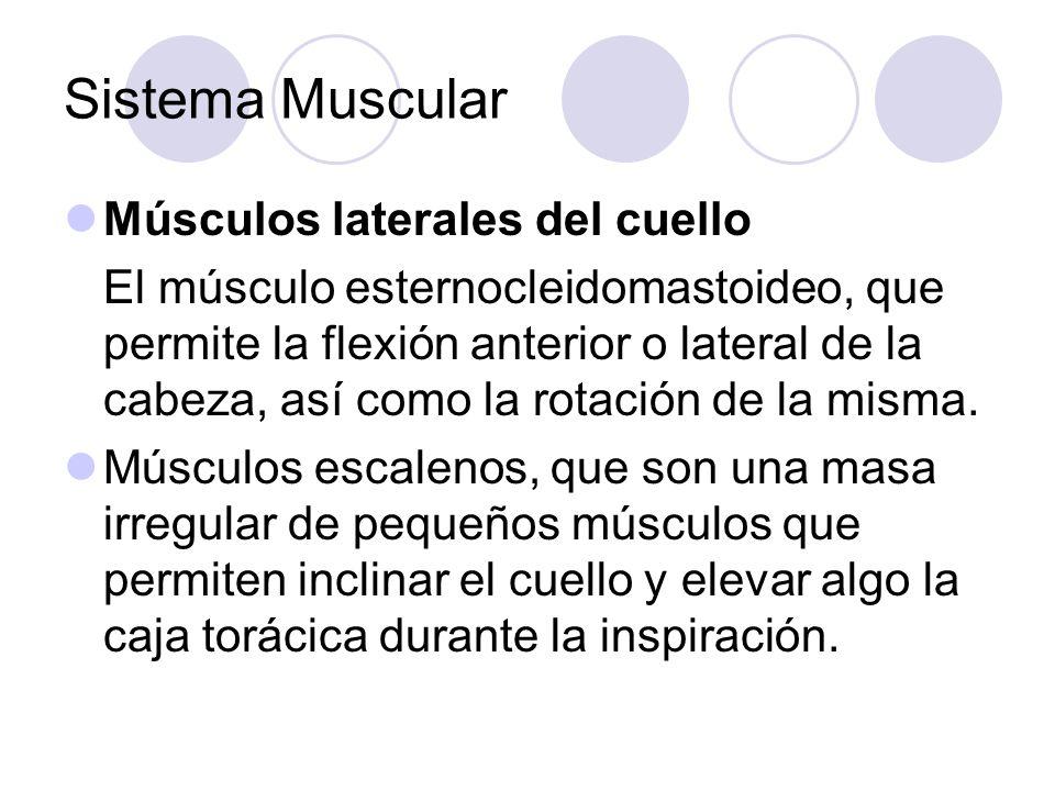 Sistema Muscular Músculos laterales del cuello El músculo esternocleidomastoideo, que permite la flexión anterior o lateral de la cabeza, así como la rotación de la misma.